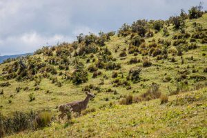 condor-trek-deer