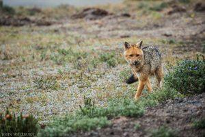 condor-trek-fox