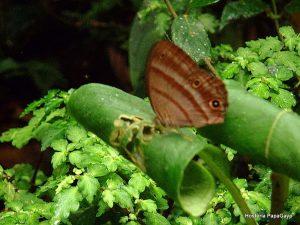 mindo-butterfly-2