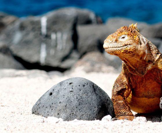 galapagos-islands-land-iguana-will-bolsover