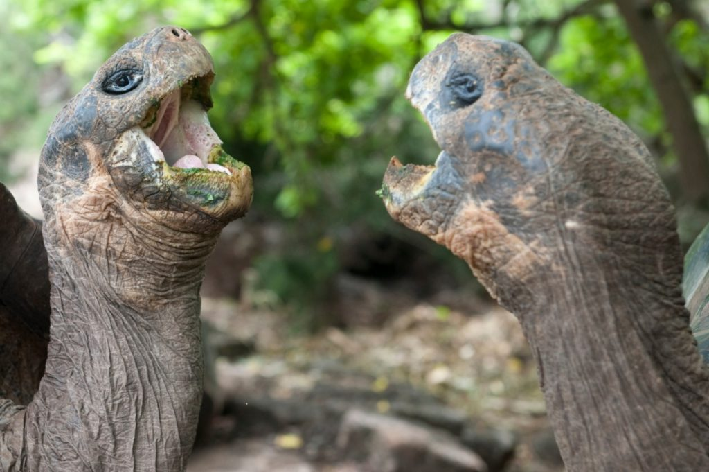 Galapogs giant tortoises