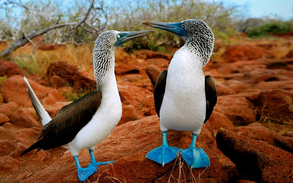 blue footed galapagos